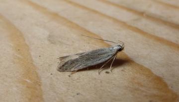 Anarsia spartiella. Copyright: Stephen Rolls