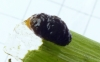 Grub of Lily Beetle clothed in own excreta Copyright: Peter Pearson