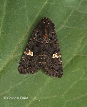 Dot Moth  Melanchra persicariae Copyright: Graham Ekins