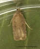 Agonopterix scopariella 2 Copyright: Graham Ekins