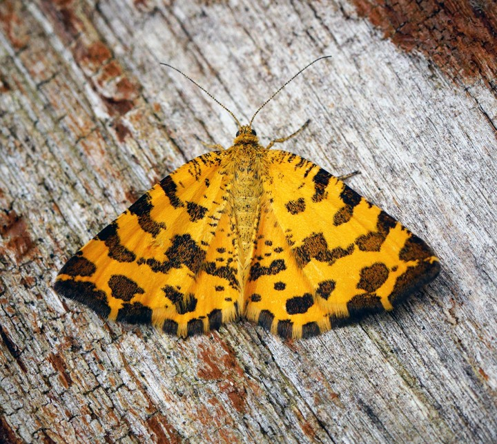 Speckled Yellow. Copyright: Ben Sale
