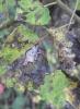 Stigmella assimilella Leafmine. Copyright: Stephen Rolls