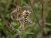 Helophilus trivittatus Copyright: Malcolm Riddler