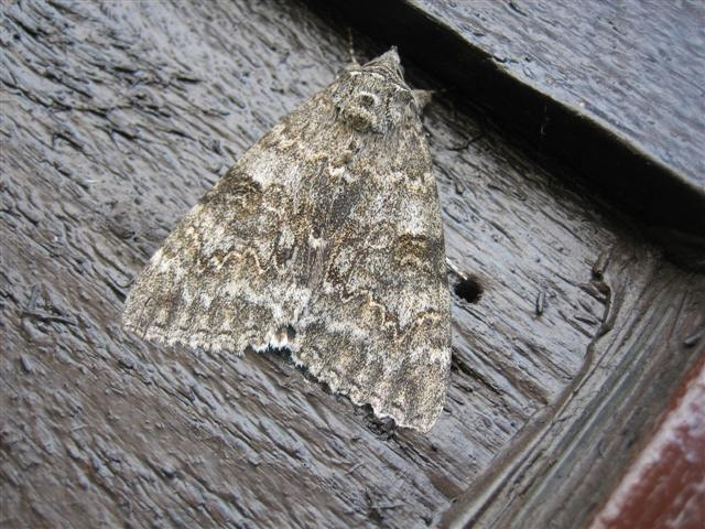 Red Underwing 2 Copyright: Stephen Rolls