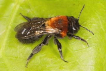 Andrena thoracica Copyright: Peter Harvey