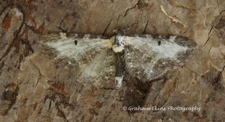 Eupithecia succenturiata  Bordered Pug Copyright: Graham Ekins