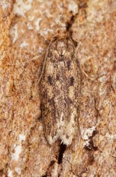 Hofmannophila pseudospretella 1 Copyright: Ben Sale