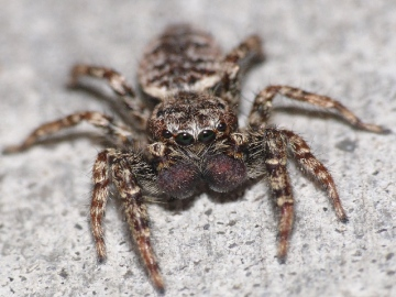 Jumping spider Marpissa muscosa front view Copyright: Peter Furze