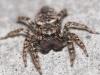 Jumping spider Marpissa muscosa front view Copyright: Peter Furze