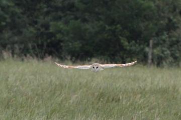 Barn Owl 2 Copyright: Graham Smith