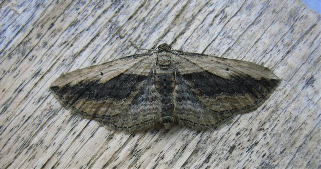 Small Waved Umber Copyright: Stephen Rolls