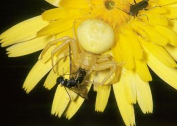 Misumena vatia Copyright: Peter Harvey