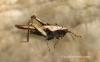 Tetrix subulata  (Slender Groundhopper female) Copyright: Graham Ekins