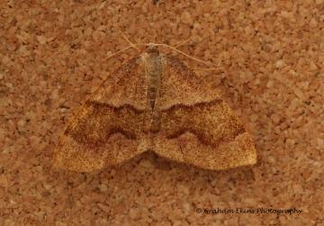 Barred Umber   Plagodis pulveraria Copyright: Graham Ekins