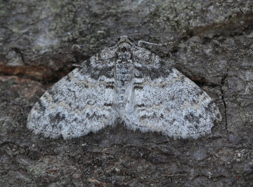 Lobophora halterata 4 Copyright: Graham Ekins