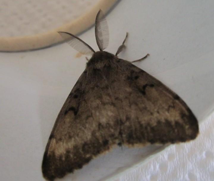 Gypsy Moth in August 2013 Copyright: Kathleen Black
