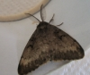 Gypsy Moth in August 2013 Copyright: Kathleen Black