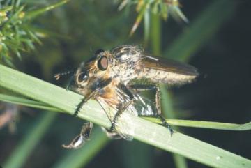 Eutolmus rufibarbis