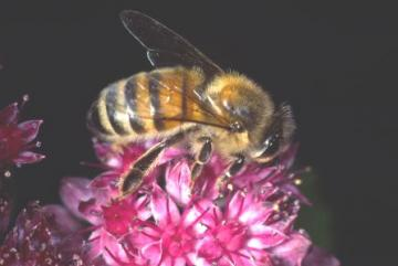 Apis mellifera Copyright: Peter Harvey