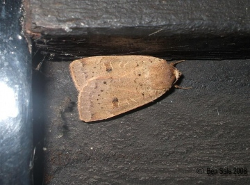 Lesser Yellow Underwing 2 Copyright: Ben Sale