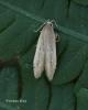 Limnaecia phragmitella 2 Copyright: Graham Ekins
