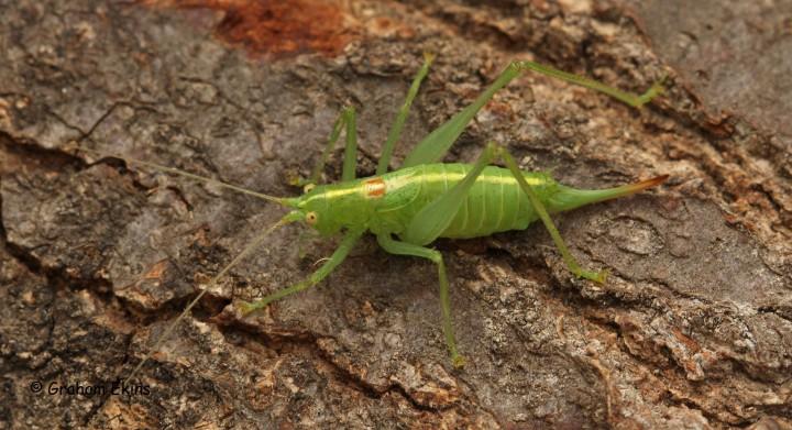 Meconema meridionale  (Southern oak Bush Cricket) Copyright: Graham Ekins