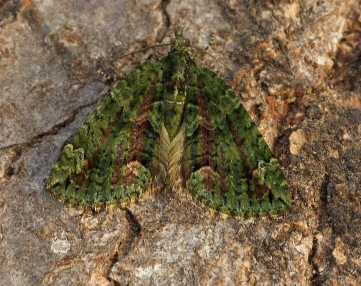 Red-green Carpet  Chloroclysta siterata Copyright: Graham Ekins