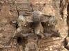 Poplar Hawk-moth Laothoe populi Copyright: Graham Ekins