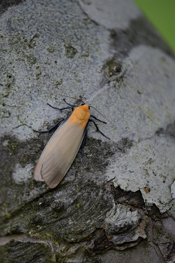 Four-spotted Footman (male) Copyright: Samuel Chamberlin