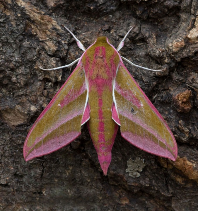 Elephany Hawk-moth Deilephila elpenor Copyright: Graham Ekins