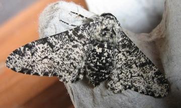 Peppered Moth 2 Copyright: Stephen Rolls