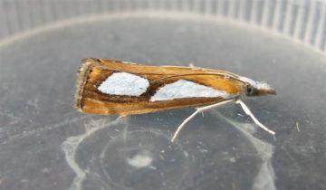 Catoptria pinella 2 Copyright: Stephen Rolls