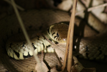 Grass Snake basking Copyright: Robert Smith