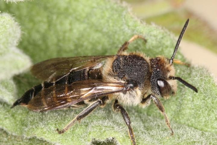 Coelioxys inermis female Copyright: Peter Harvey
