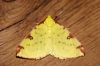Brimstone Moth Copyright: Ben Sale