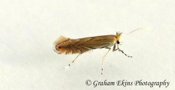 Phyllonorycter quercifoliella Copyright: Graham Ekins