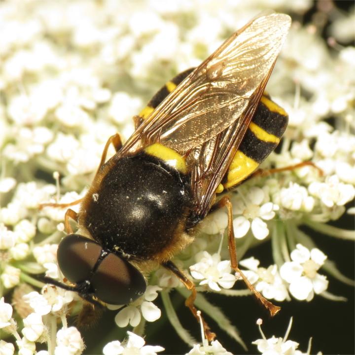 Stratiomys potamida male 20150721-2508 Copyright: Phil Collins