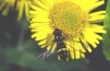 Dasysyrphus tricinctus Copyright: Peter Harvey