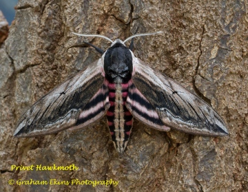 Privet Hawk-moth Sphinx ligustri Copyright: Graham Ekins