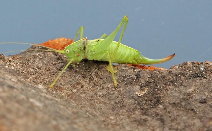 Southern Oak Bush Cricket Copyright: Graham Ekins