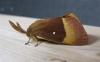 Oak Eggar 2 Copyright: Stephen Rolls