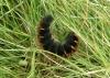 Macrothylacia rubi Copyright: Sue Grayston