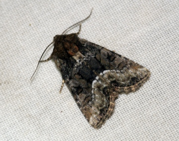 Marbled Minor agg 2 Copyright: Ben Sale