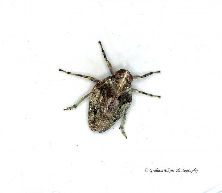 Issus coleoptratus 2 Copyright: Graham Ekins