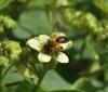 Andrena florea mining bee Copyright: Malcolm Riddler
