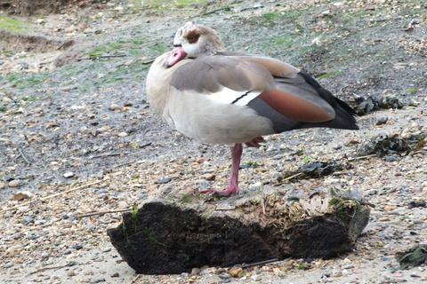 Egyptian Goose (Alopochen aegyptiacus) Copyright: Peter Pearson