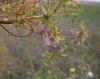Fisher's Estuarine Moth 1 Copyright: Clive Atkins