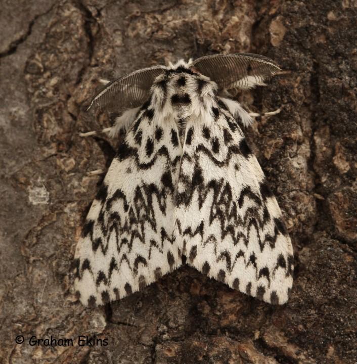 Lymantria monacha  Black Arches 6 Copyright: Graham Ekins