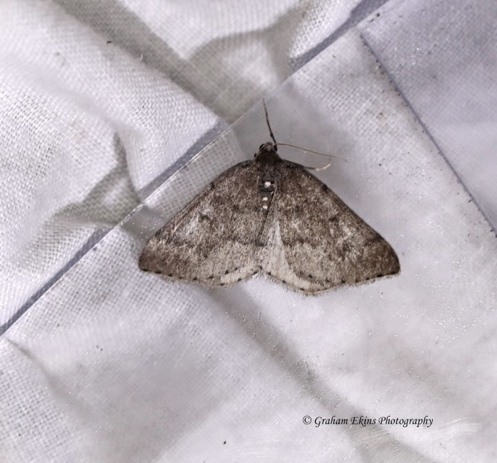 Aleucis distinctata  Sloe Carpet Copyright: Graham Ekins