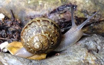 Garden Snail  (Helix aspersa) Copyright: Peter Pearson
